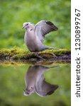 The Eurasian Collared Dove Or...