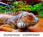the green  iguana  is a large... | Shutterstock . vector #1230903664