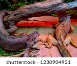 the  iguana  is a large... | Shutterstock . vector #1230904921