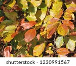 autumnal leaves of a beech tree | Shutterstock . vector #1230991567