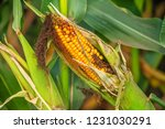 spoiled corn cob on the field...   Shutterstock . vector #1231030291