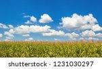 rural landscape   corn field on ... | Shutterstock . vector #1231030297