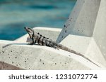 iguana on the beach in mexico... | Shutterstock . vector #1231072774