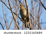 nightingale sings  sitting on a ... | Shutterstock . vector #1231165684
