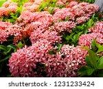 beautiful spike flower blooming ...   Shutterstock . vector #1231233424