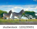 two zebras in wild africa.... | Shutterstock . vector #1231255051