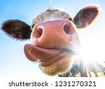 Funny Cow At The European Alps  ...