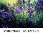 Stock photo a lovely butterfly sits on a lilac lavender flower in a summer garden 1231295671