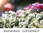 nightingale daisy flower in... | Shutterstock . vector #1231324627