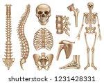 human skeleton structure. skull ... | Shutterstock .eps vector #1231428331
