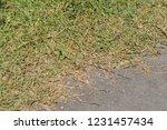 iguana at tulum  mexico | Shutterstock . vector #1231457434