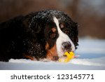 Bernese Mountain Dog With A Toy