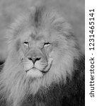 lion  black and white | Shutterstock . vector #1231465141