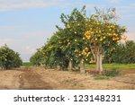 Grapefruit Garden.israel