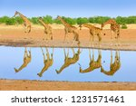 group of giraffe near the water ... | Shutterstock . vector #1231571461