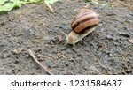 slowly crawling snail  carries... | Shutterstock . vector #1231584637
