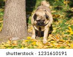 pug dog on the leaves in autumn | Shutterstock . vector #1231610191