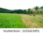 cows on the field in schwarzwald | Shutterstock . vector #1231621891