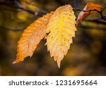 yellow and orange autumn leaves ... | Shutterstock . vector #1231695664