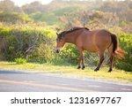 a wild pony  equus caballus ... | Shutterstock . vector #1231697767