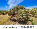 green plants cactus opuntia...   Shutterstock . vector #1231698187
