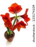 shot of red amaryllis flower... | Shutterstock . vector #123174109