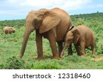 Постер, плакат: An African elephant mom