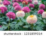 beautiful flower in the nature... | Shutterstock . vector #1231859314