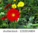 colorful red gerbera daisy in... | Shutterstock . vector #1232014804