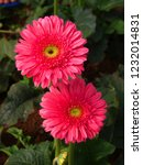 colorful pink gerbera daisy in... | Shutterstock . vector #1232014831