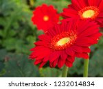 colorful red gerbera daisy in... | Shutterstock . vector #1232014834