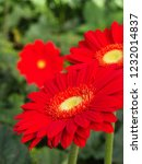 colorful red gerbera daisy in... | Shutterstock . vector #1232014837
