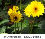 colorful yellow gerbera daisy... | Shutterstock . vector #1232014861
