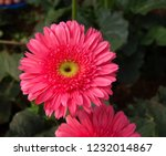 colorful pink gerbera daisy in... | Shutterstock . vector #1232014867