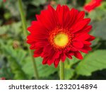 colorful red gerbera daisy in... | Shutterstock . vector #1232014894