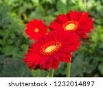 colorful red gerbera daisy in... | Shutterstock . vector #1232014897