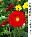colorful red gerbera daisy in... | Shutterstock . vector #1232014921