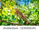 wild panther chameleon ... | Shutterstock . vector #1232026141
