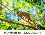 wild panther chameleon ... | Shutterstock . vector #1232026147