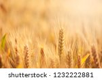 wheat in the farm   Shutterstock . vector #1232222881