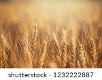 wheat in the farm | Shutterstock . vector #1232222887