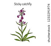 sticky catchfly  silene... | Shutterstock .eps vector #1232291974