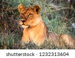 lion  panthera leo   moremi...   Shutterstock . vector #1232313604