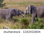 elephants fighting on the... | Shutterstock . vector #1232422834