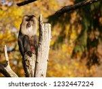 beard ape in german zoo | Shutterstock . vector #1232447224