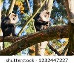 beard ape in german zoo | Shutterstock . vector #1232447227