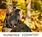 beard ape in german zoo | Shutterstock . vector #1232447257