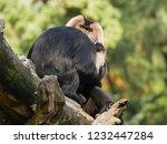 beard ape in german zoo | Shutterstock . vector #1232447284