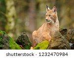 lynx in stone rock. walking... | Shutterstock . vector #1232470984