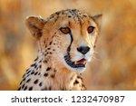 cheetah face  acinonyx jubatus  ... | Shutterstock . vector #1232470987